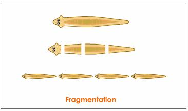 Fragmentation asexual reproduction definitions