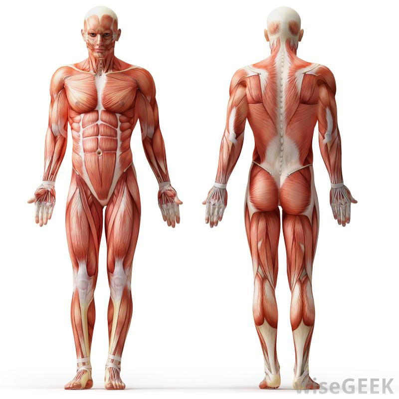 The Muscular System Atp Calcium Ions En Filament Health Human