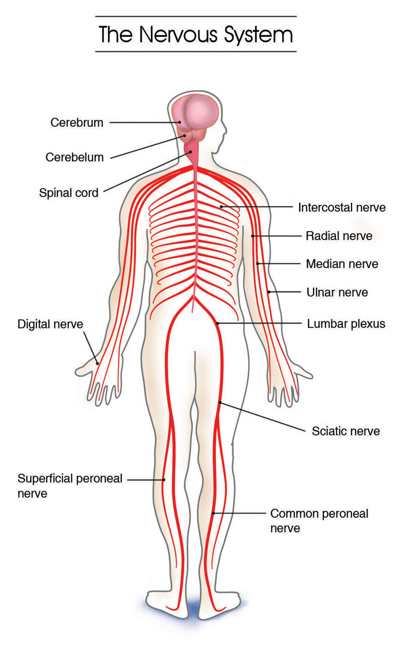 central nervous system: anatomy, brain, central, cns, cord, en, Én