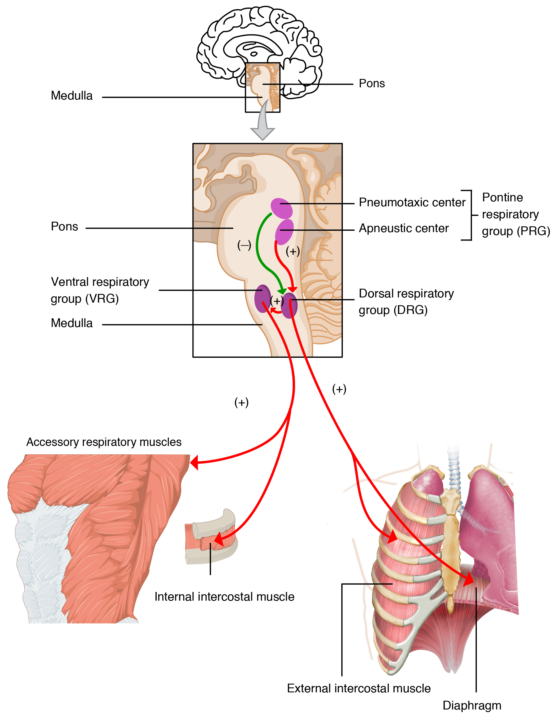 Respiratory system anatomy en human lungs organs respiratory for people with asthma the sensors can make muscles around airways contract which makes breathing more difficult ccuart Image collections